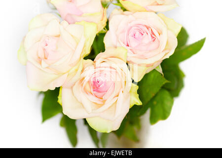 Directly above light pink and white roses close up on white background - Stock Photo