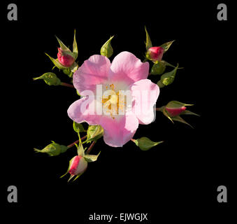 Wild rose. Pink Rosa rugosa or Dog rose closeup isolated on black. - Stock Photo