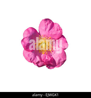 Wild rose. Pink Rosa rugosa or Dog rose closeup isolated on white. - Stock Photo