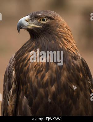 A portrait of a golden eagle. - Stock Photo
