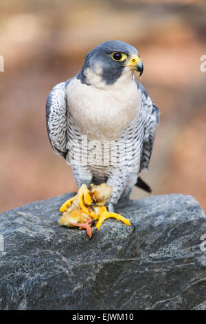 A peregrine falcon eating a young chicken. - Stock Photo