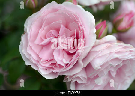 Rosa Princes Claire van Belgie - Stock Photo