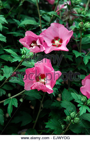 hibiscus syriacus pink giant stock photo royalty free. Black Bedroom Furniture Sets. Home Design Ideas