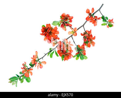 Gentle spring isolated branch with orange flowers  buds and green leaves - Stock Photo