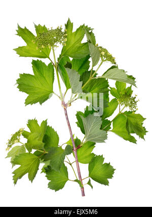 Ideal green bush  spring branch with flowers bud  isolated - Stock Photo