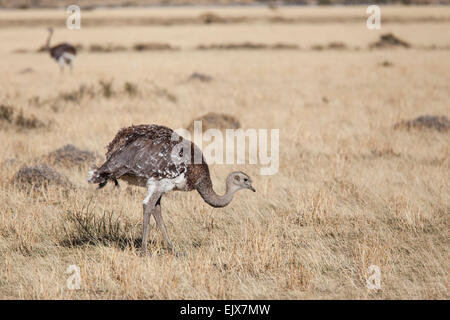 Lesser Rhea or Darwin's Rhea (Rhea pennata pennata) grazing in Southern Chile, Patagonia - Stock Photo