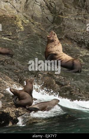 Stellar sea lions in Kenai Fjords National Park, Alaska - Stock Photo