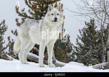 Gray Wolf in winter snow - Stock Photo
