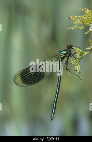 Banded Demoiselle - Calopteryx splendens - Stock Photo