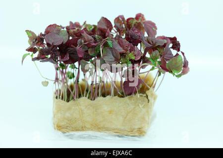 fresh and healthy baby leaf - micro salad Jane Ann Butler Photography JABPF030 - Stock Photo