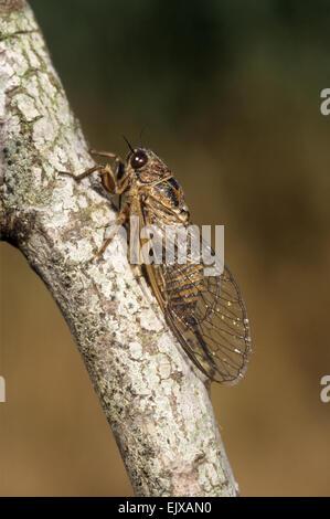 Cicada - Cicadetta argentea - Stock Photo