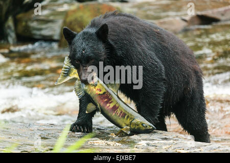 Black bear. - Stock Photo