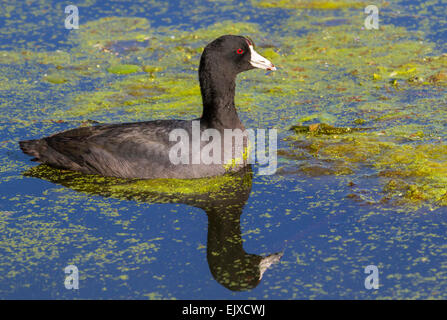 American coot (Fulica americana) in a swamp covered by duckweed, Brazos Bend state park, Needville, Texas, USA - Stock Photo