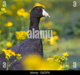 American coot (Fulica americana) in a swamp among yellow spring flowers, Brazos Bend state park, Needville, Texas, - Stock Photo