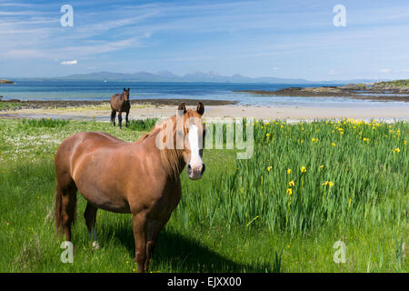 horses grazing peacefully on beach by shore  on gigha - Stock Photo