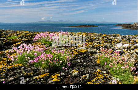 gigha shore with thrift and rocks - Stock Photo