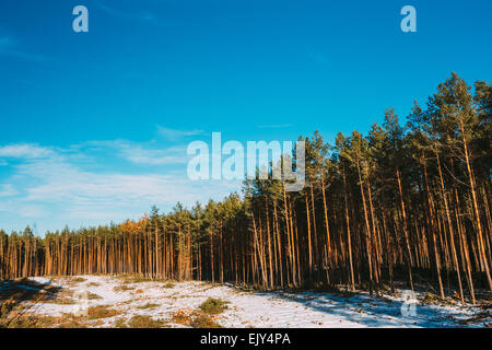 Winter Pine Forest Under Deep Blue Sky, Russian Nature Background - Stock Photo