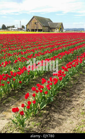 Field of red tulips during Skagit Valley Tulip Festival with barn in background. - Stock Photo