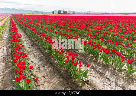 Field of red tulips during Skagit Valley Tulip Festival. - Stock Photo