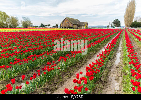 Field of red tulips during Skagit Valley Tulip Festival with barn in background - Stock Photo