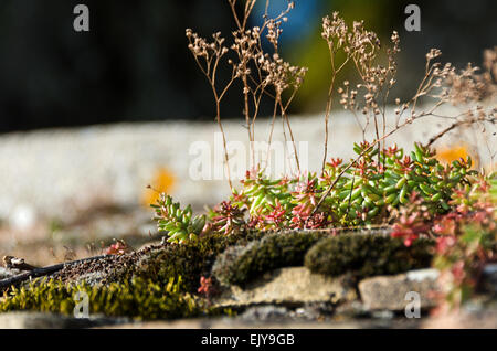Moss and White Stonecrop (Sedum album) growing on the wall of the Château de Santenay, Santenay, Côte-dOr, Burgundy, - Stock Photo