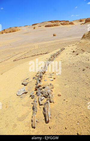Dorudon Atrox whale . Valley of the whales western desert - Egypt ( 40 million years fossil ) - Stock Photo