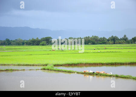 rice field in South Sulawesi Indonesia - Stock Photo