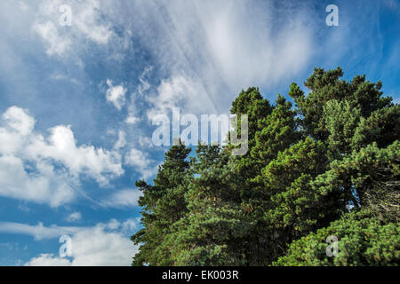 Conifers growing in Simonside Forest near Rothbury, Northumberland, England - Stock Photo