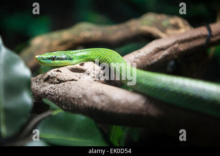 Vietnamese long nosed snake