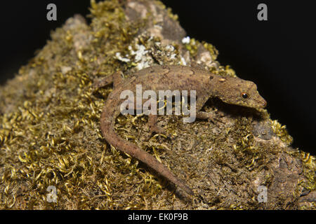 Dwarf gecko, Cnemaspis sp, Gekkonidae, Silent Valley National Park, Kerala. India - Stock Photo