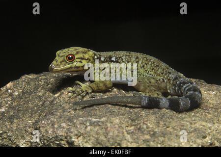 Dwarf gecko, Male Cnemaspis sp, Gekkonidae, Iuka wildlife sanctuary, Kerala. India Male - Stock Photo