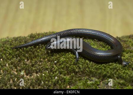 Skink Lygosoma sp, Scincidae, Anamudi shola National Park, Kerala. A dark black coloured skink found in shola forest. - Stock Photo