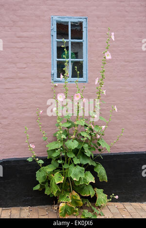 Hollyhock against a pink wall with blue window. Shot from Faaborg, Denmark - Stock Photo