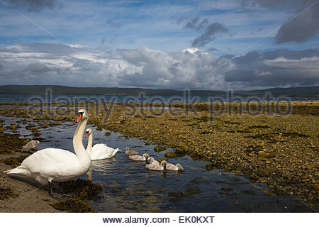 Mute swan pair (Cygnus olor) with cygnets on Catacol seashore at freshwater stream mouth, Arran, Scotland, UK - Stock Photo