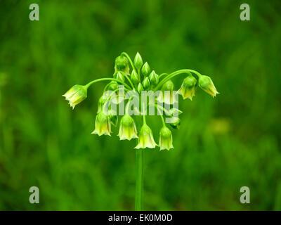 Green Allium flowers and buds, Nectaroscordum Siculum - Stock Photo