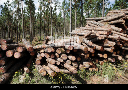 nobody, no one, no-one, outdoors, outside, day, pile, conifer, pinus, trees, logs, felled, chopped, natural resources, - Stock Photo