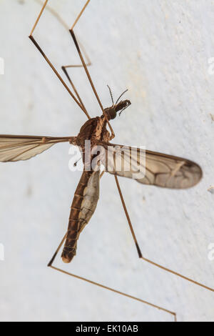 insect daddy longlegs close up in forest stock photo royalty free image 80542584 alamy. Black Bedroom Furniture Sets. Home Design Ideas
