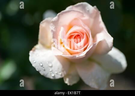 Rosa Johann Strauss, a Meilland rose - Stock Photo