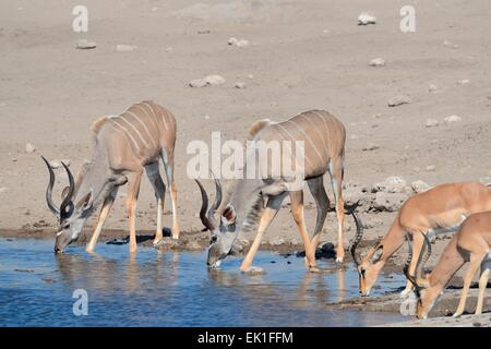 Greater kudus (Tragelaphus strepciceros),and Black-faced impalas (Aepyceros melampus petersi), drinking, Etosha, - Stock Photo