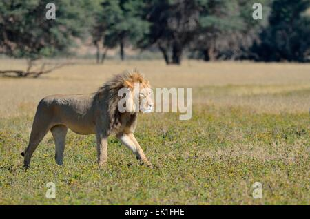 Lion (Panthera leo), adult male, walking in the grass, Kgalagadi Transfrontier Park, Northern Cape, South Africa, - Stock Photo