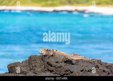 Marine Iguana relaxing on volcanic rocks on Santa Cruz Island in the Galapagos Islands in Ecuador - Stock Photo