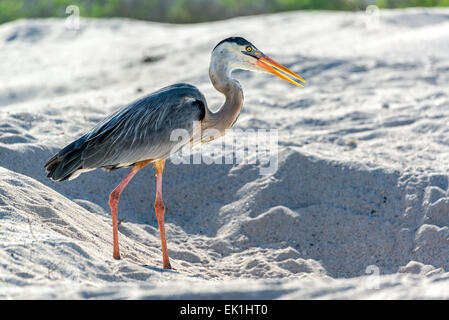 Great Blue Heron on a beach on Santa Cruz in the Galapagos Islands Stock Photo