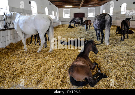 federal stud world famous Lipizzaners  Mares and foals - Stock Photo