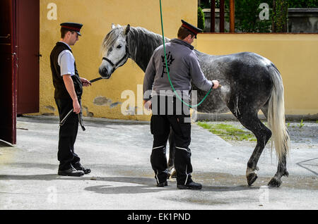 Piber, home to the world famous Lipizzaners, horse being washed - Stock Photo
