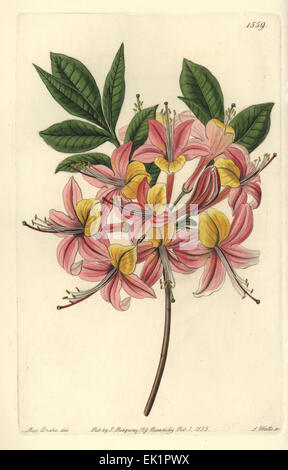 Yellow azalea, Rhododendron luteum (Changeable Pontic azalea, Azalea pontica versicolor). - Stock Photo