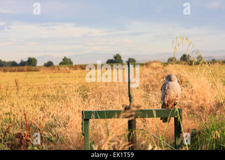 Male Montagu's Harrier (Circus pygargus) perched on irrigation system. Lleida province. Catalonia. Spain. - Stock Photo