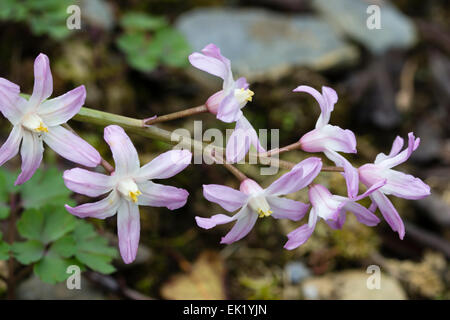 Chionodoxa forbesii 'Pink Giant', a pink form of the 'Glory of the Snow' spring flowering dwarf bulb - Stock Photo