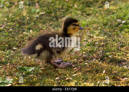 Rufford, Southport, West Lancashire, UK 5th April, 2015.   Easter Duckling Days at Martin Mere Wetlands Centre and - Stock Photo