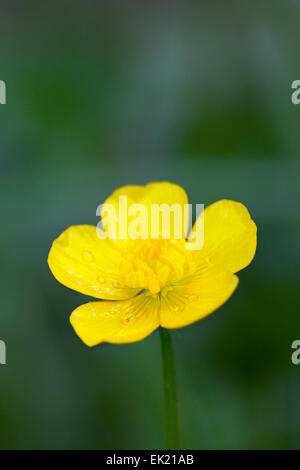 Buttercup; Spring; UK - Stock Photo
