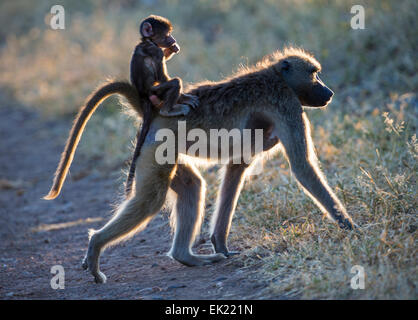 Female baboon and baby in Chobe National Park, Botswana - Stock Photo